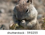 Close-up of a squirrel nibbling on plant life near the coastline, pacific coast - near Big Sur. - stock photo