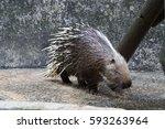 porcupine. crested porcupine. | Shutterstock . vector #593263964