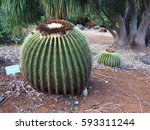 Small photo of Golden Barrel Cactus alias seat of mother-in-law at Koko Crater Botanical Garden, Oahu Island, Hawaii, USA