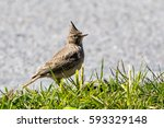 Small photo of Crested Lark (Galerida cristate) in Fredrikshavn Denmark