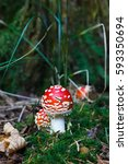 Small photo of Amanita muscaria mushrooms in a forest