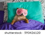 Stock photo pomeranian dog in a sleep funny mask is laying on spine on pillows under the blankets with the 593426120
