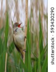 Small photo of Great reed warbler. Acrocephalus arundinaceus.