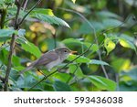 Small photo of Blyth's reed warbler. Acrocephalus dumetorum.