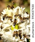 many bees on a white flower.... | Shutterstock . vector #593437430