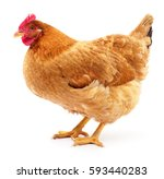 Brown Hen Isolated On White ...