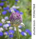Small photo of Purple Allium Bud in Summer