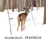 Young Whitetail Deer End Of...