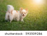 chihuahua dogs standing with ... | Shutterstock . vector #593509286