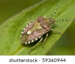 sheidbug on leaf | Shutterstock . vector #59360944