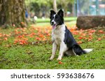 Beautiful Border Collie Sittin...