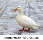 albino mallard duck over snow...   Shutterstock . vector #593733038