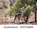 Broken Hill Australia  Kangaroo
