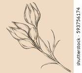 botany. set. vintage flowers.... | Shutterstock .eps vector #593756174
