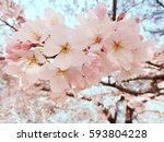 cherry blossoms and blue sky | Shutterstock . vector #593804228