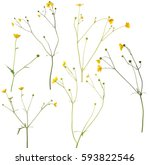 group of wild golden buttercup... | Shutterstock . vector #593822546