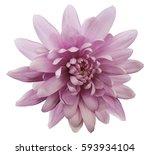 pink flower chrysanthemum. ... | Shutterstock . vector #593934104