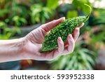 hands hold bitter melon  ... | Shutterstock . vector #593952338