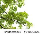 green leaves isolated on white... | Shutterstock . vector #594002828