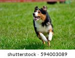Stock photo running dog tricolor border collie 594003089