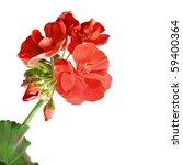 geranium pelargonium flowers... | Shutterstock . vector #59400364