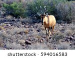 Red Hartebeest At The Karoo...