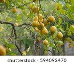 Branch Of Ripe Yellow Lemons On ...