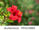 Red Hibiscus Flower On A Green...