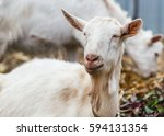 white goat at the village in a... | Shutterstock . vector #594131354