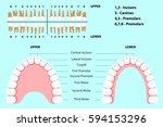 human teeth  human jaw  the... | Shutterstock .eps vector #594153296