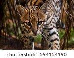 ocelot  leopardus pardalis  it... | Shutterstock . vector #594154190