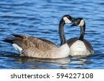 Two Canada Geese Enjoying A...