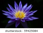 Purple Water Lily On Black...