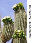 Blooming Saguaro Cactus