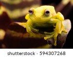 Polka Dot Tree Frog  Hypsiboas...
