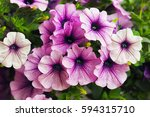 Purple Petunia Flowers In The...