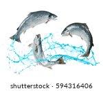 Atlantic Salmon Fishes Jumping...