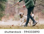 labrador is playing with the... | Shutterstock . vector #594333890