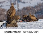 The Big Boss Griffon Vulture...