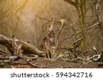 deer standing in a forest near... | Shutterstock . vector #594342716
