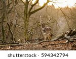 deer standing in a forest near... | Shutterstock . vector #594342794