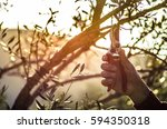 pruning of olive trees  crete ... | Shutterstock . vector #594350318