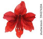 wildflower amarillis flower in...   Shutterstock . vector #594374204