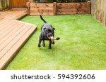 black staffordshire bull... | Shutterstock . vector #594392606