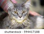 kitten at the cat show | Shutterstock . vector #594417188