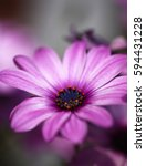 close up of cape daisy flowers... | Shutterstock . vector #594431228