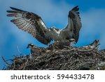 Osprey Nest In Banff.