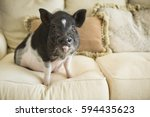 A Pot Bellied Pig Sitting On...