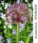 Small photo of Ornamental Allium