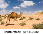 dromedary camel walking in the... | Shutterstock . vector #594510380